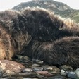 Dead griz along Yellowstone River now subject of poaching investigation