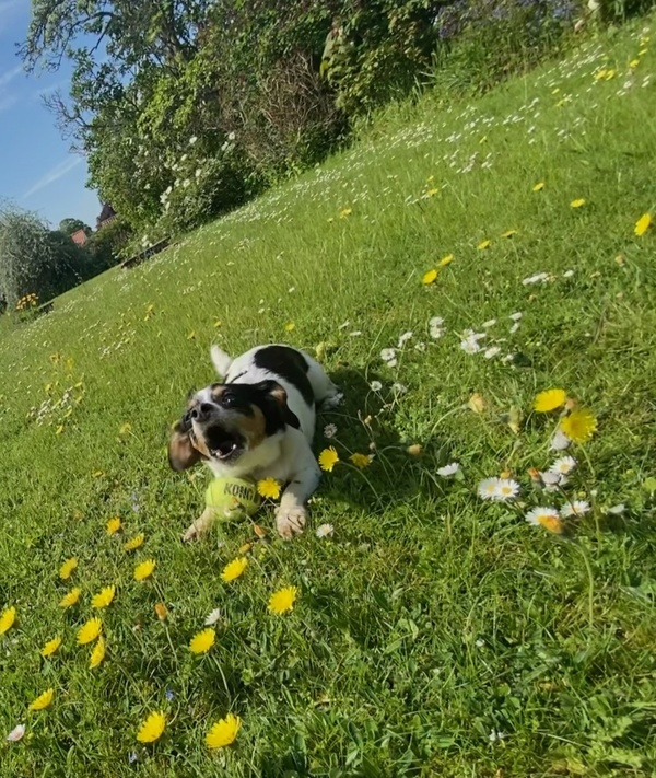 """poppy being outraged we aren't coming quickly enough to throw the ball (she doesn't """"do"""" fetch)"""