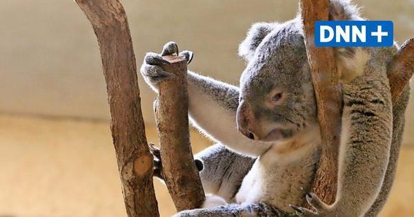 Zoo Dresden: Koala Mullaya geht es wieder besser