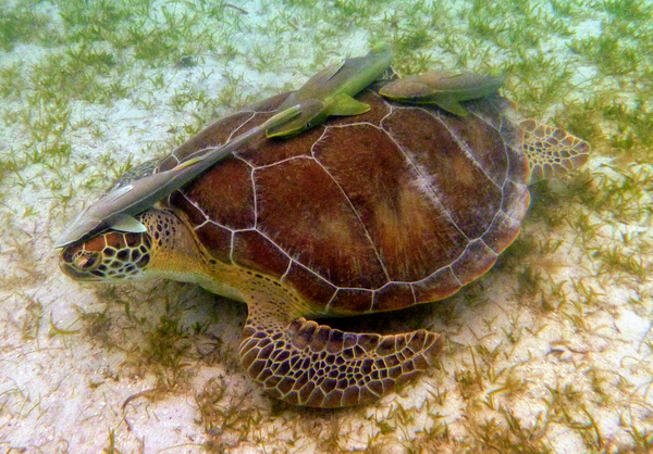 Maho, spotted off the beach at the Virgin Islands National Park, likes eating sea grass and keeping company with his fish friends, who like to hang out on his back. This is the first sea turtle to appear in The Highlighter, thanks to loyal reader Brian. hltr.co/pets
