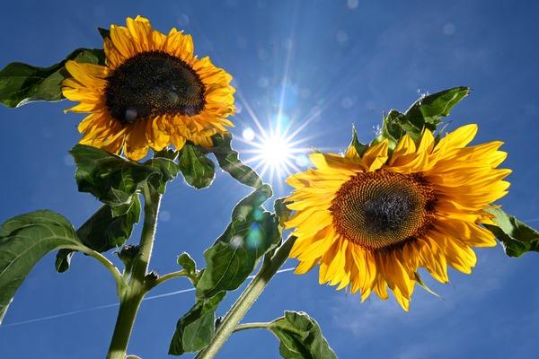 Sie mögen es - natürlich - sonnig, sind aber im Grunde anspruchslos: Sonnenblumen. Foto: Felix Kästle/dpa