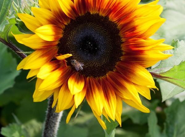 Die Sonnenblume der Sorte 'Ring of Fire' (Helianthus annuus) schmückt sich mit einem rotbraunen Ring. Foto: Marion Nickig/dpa