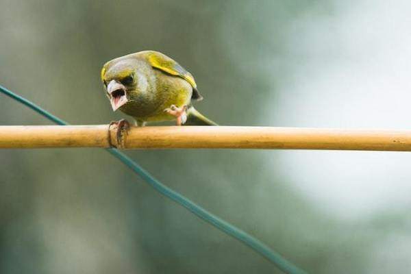 The original angry bird.