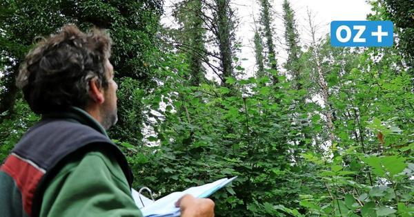 Kettensäge auf Rügen im Großeinsatz: 2000 Bäume werden gefällt oder bearbeitet