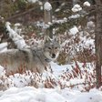 Science Poetry Friday: Delisted Wolves