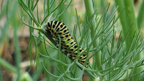 Schmetterlingsraupe (Foto: Dietmar Paul)