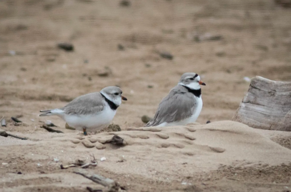 Piping plover mates Rose and Monty welcomed a new member of the family after a chick they abandoned was hatched at Lincoln Park Zoo on Saturday.   Ashlee Rezin Garcia/Sun-Times file