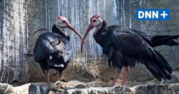 Geschichten aus dem Dresdner Zoo: Schillernder cleverer Kahlkopf