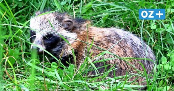 Alarm am Sackkanal: Junger Marderhund sorgt auf Usedom für Aufsehen
