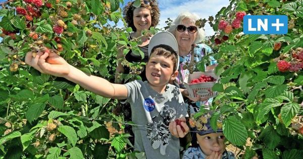 Saisonstart in Ostholstein: Himbeerfelder sind zum Selberpflücken geöffnet