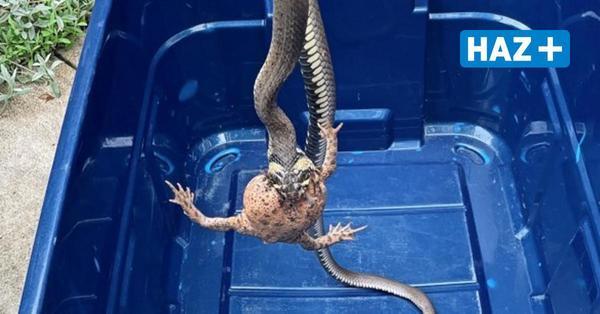Langenhagen: Feuerwehr fängt Schlange mit Kröte im Maul ein