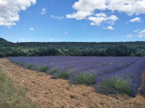 An image which is scented. Lavender fields, Gard.