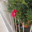 Otra planta que se pone muy bonita 'un rato' en primavera.