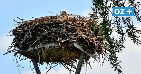 Warum das verwaiste Storchennest im Greifswalder Ortsteil Eldena nicht ungewöhnlich ist
