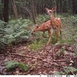 When fawns perceive constant danger from many sources, they almost seem to relax