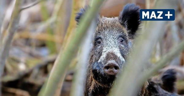 Havelland: Landwirte alarmiert - Hausschweine nahe deutscher Grenze mit Schweinepest angesteckt