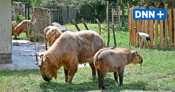 Zoo Dresden: Goldtakine sind in Kranich-Gehege gezogen