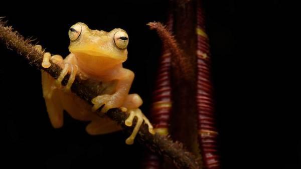 Dieser Frosch legt seine Eier in fleischfressende Pflanzen – auch die Kaulquappen entwickeln sich dort