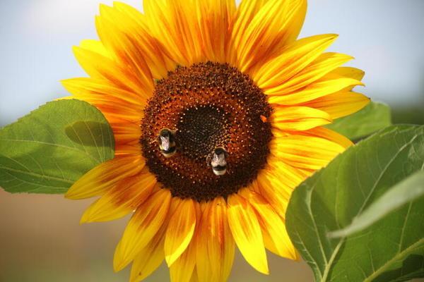 Sonnenblumen locken (Foto: Anja Wetzel)
