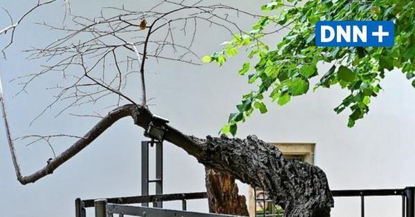 Kaditzer Linde in Dresden: Sorge um ältesten Baum der Stadt