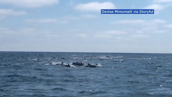 Video shows 100 dolphins surprise boater less than a mile from Southern California beach - ABC7 San Francisco