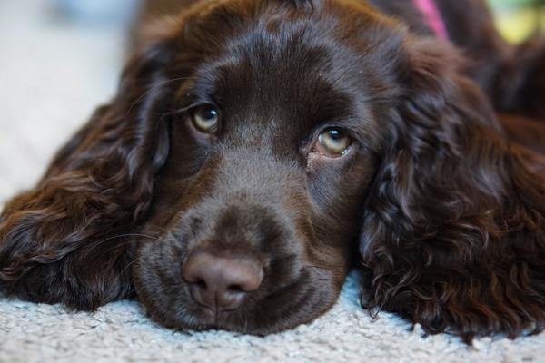 All About The Cocker Spaniel