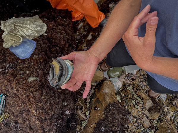On California's Coast, Black Abalone, Already Vulnerable to Climate Change, are Increasingly Threatened by Wildfire