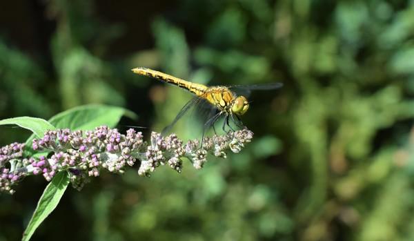 Libelle auf Hochtouren (Foto: Corinna Schaak)
