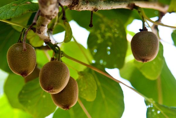 Die Früchte der Kiwi-Pflanze brauchen viel Wasser und Sonnenschein. Foto: Andrea Warnecke/dpa