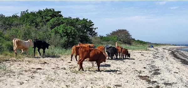 Die Kühe des Landwirtes Mathias Schilling Quelle: Gunnar C.Kersten