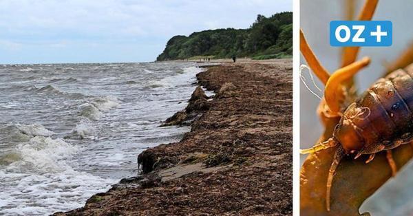 Zu warme Ostsee: Asseln beißen Badegäste im Klützer Winkel