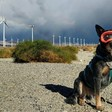 Are wind turbines a danger to wildlife? Ask the dogs.