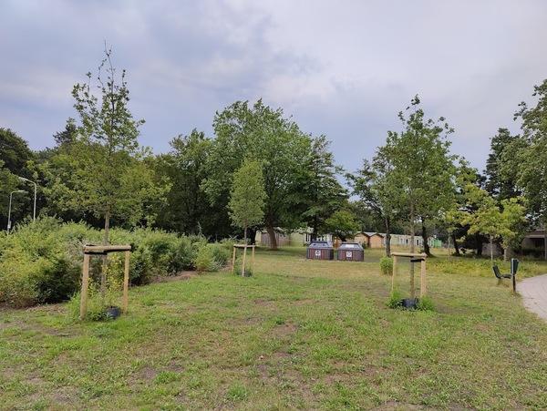Nog eens drie van de negen nieuwe bomen, geplant door Parnassia. Foto door nieuwsuitcastricum.nl