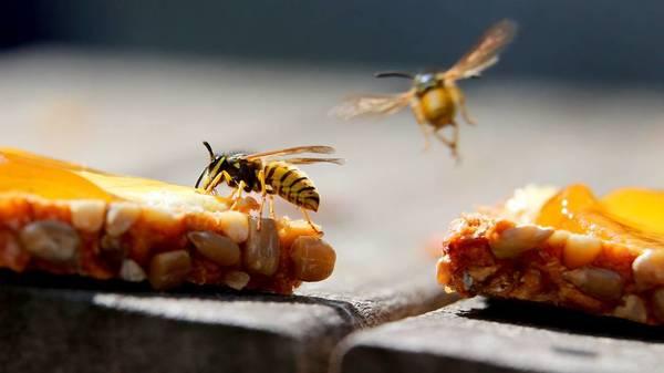 Wespen vertreiben: Das hilft am besten