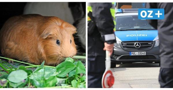 Meerschweinchen in Pappkarton löst Polizeieinsatz in Rostock aus