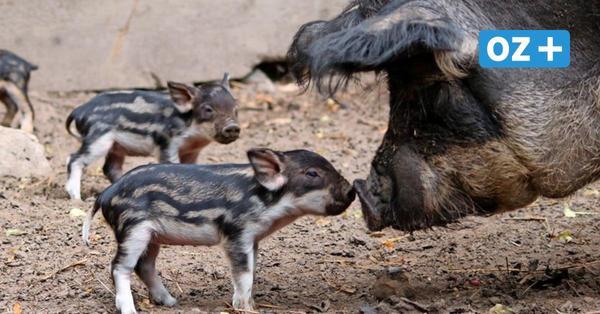 Neuer tierischer Star: Das erwartet die Besucher beim Landeszootag in Grimmen