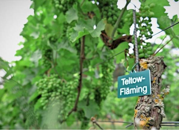 Ein Rebstock namens Teltow-Fläming steht jetzt in Baruth. Foto: Jutta Abromeit