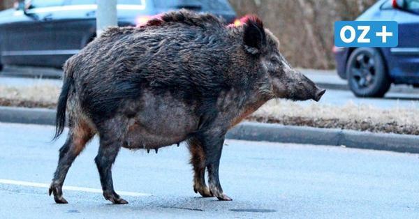 Vorpommern-Greifswald: Weiterer Zaun soll Afrikanische Schweinepest aufhalten