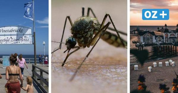 Mückenplage auf Urlaubsinseln Rügen und Usedom? So schlimm ist es wirklich