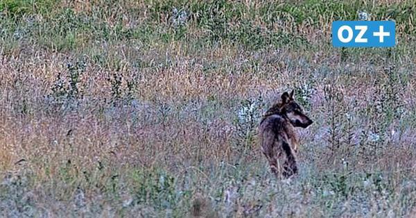 Urlauberin wird in Ahrenshoop überrascht: Ein Wolf im Garten?