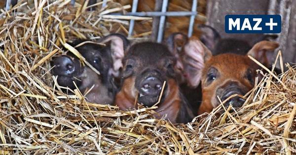 13 Baby-Wollschweine entdecken in Krielow die Welt – Namen gesucht