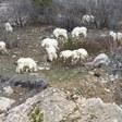 Grand Teton civilian mountain goat gunning a go—again
