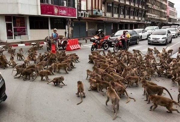 Thailand: Monkey gangs fight for food as lockdown keeps out tourists | Metro News