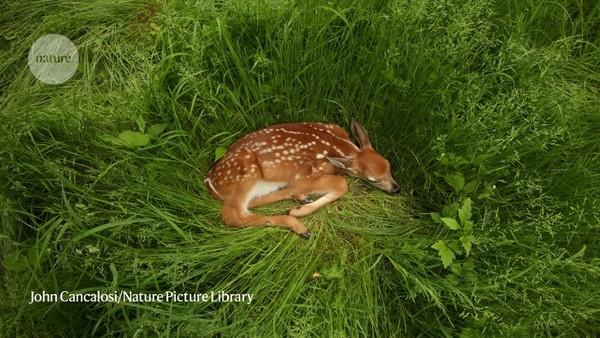 Coronavirus infection is rife in a common US deer species
