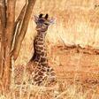 Giraffes are as socially complex as elephants