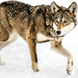The collapse of wild red wolves is a warning that should worry us all
