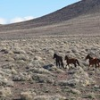 When unchecked, free-roaming horse populations threaten greater sage-grouse