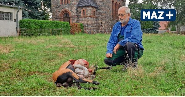 Schafe im Schatten der Köpernitzer Kirche gerissen