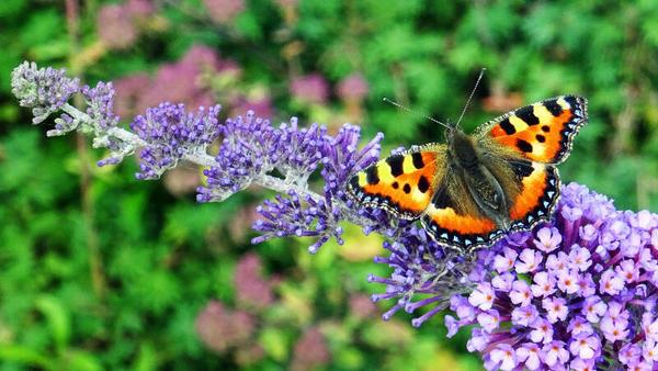 Attraktiver Kleiner Fuchs auf Schmetterlingsflieder (Foto: H. Kuzina)