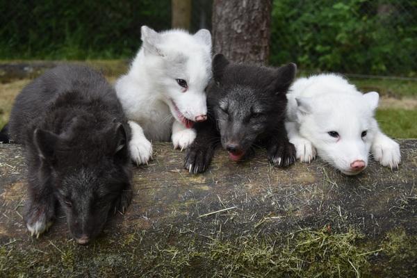 Die Polarwölfe haben dieses Jahr Nachwuchs bekommen. Foto: Filmtierpark